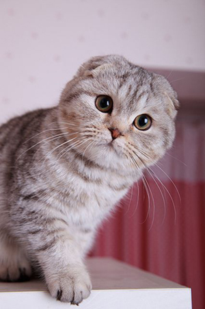 gatto scottish fold