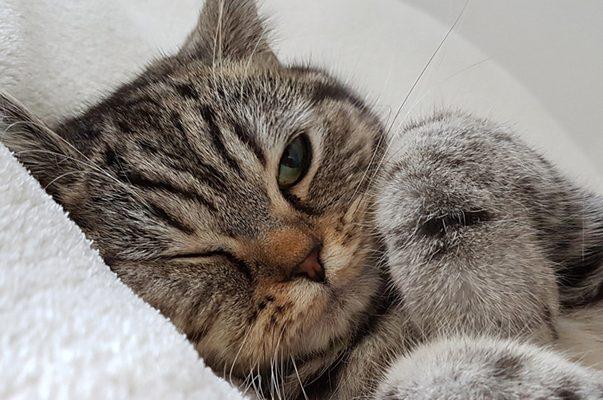 Raffreddore dei gatti