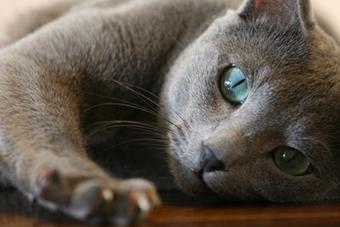 Gatti Blu di Russia